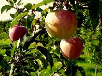 Γιορτή Μήλου